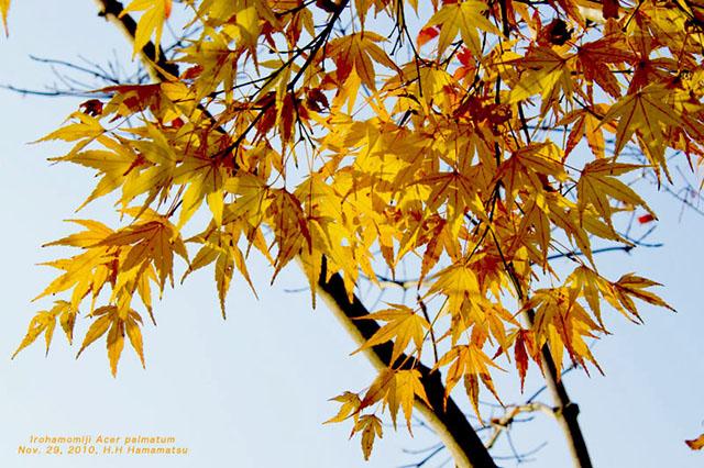 イロハモミジの画像 p1_31