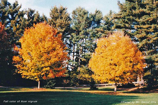 Black Sugar Maple Acer Nigrum