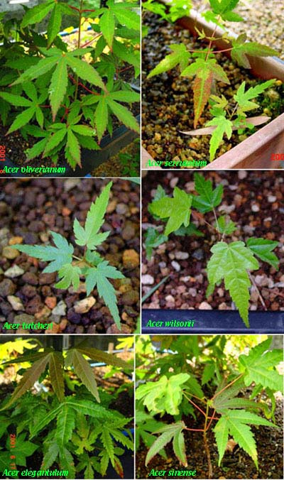 Maples Seedling From China