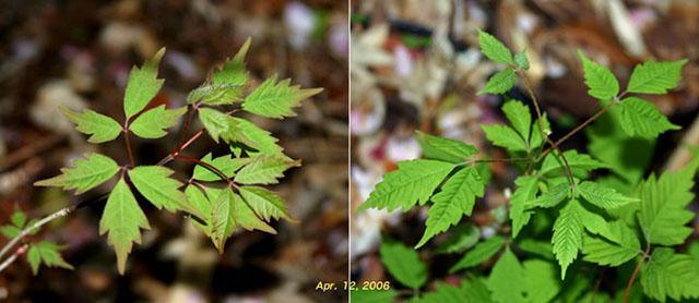 左:ミツデカエデ、右:支那ミツバカエデ(中国産)2006年4月12日 ...  Acer cis