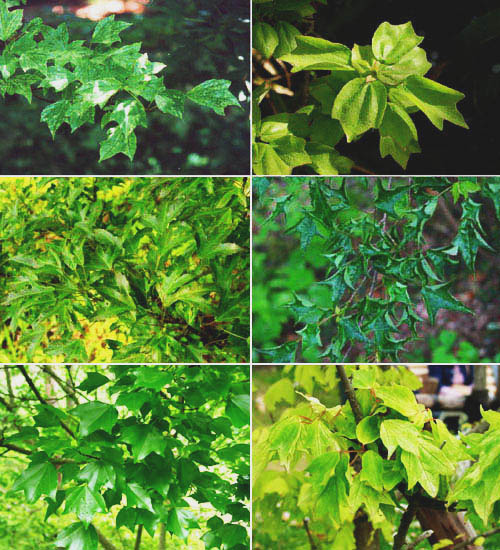 Cultivars Of Maples