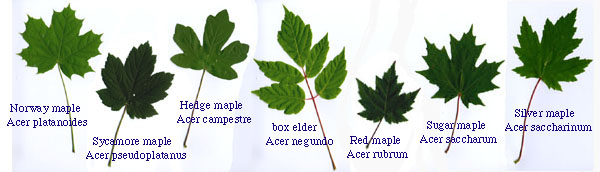 World Maples - Norway maple vs sugar maple